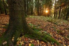 Coucher du soleil dans la forêt, l'arbre dans le premier plan Photos stock
