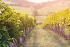 Coucher du soleil dans la vigne Photos libres de droits