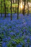 Coucher du soleil dans un bois de bluebell photographie stock libre de droits