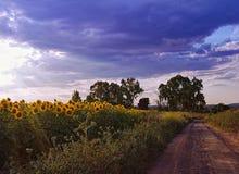 Coucher du soleil dans un domaine des tournesols Image libre de droits