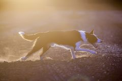 Coucher du soleil de border collie photographie stock