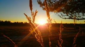 Coucher du soleil de branche de pin Photos stock