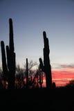 Coucher du soleil de cactus de Saguaro Image libre de droits