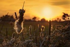 Coucher du soleil de Cattail Image stock