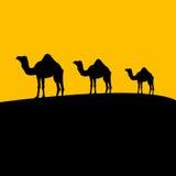 Coucher du soleil de chameau Photo stock
