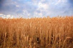 Coucher du soleil de champ de blé Photos libres de droits