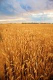Coucher du soleil de champ de blé Images libres de droits