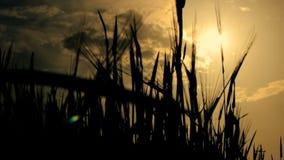 Coucher du soleil de champ de maïs banque de vidéos