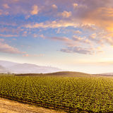 Coucher du soleil de champ de vignoble de la Californie aux USA Photos libres de droits