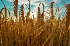 Coucher du soleil de champs de blé photos libres de droits