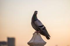 Coucher du soleil de colombe Photo libre de droits
