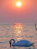 Coucher du soleil de cygne Photos stock