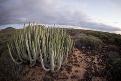 Coucher du soleil de désert de cactus dans les îles Canaries de Ténérife Photo stock
