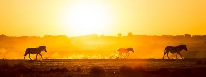 Coucher du soleil de famille de zèbre Image libre de droits