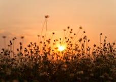 Coucher du soleil de fleur d'herbe Photo stock