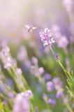 Coucher du soleil de flou de lavande de fond Beauté criméenne au coucher du soleil Images libres de droits