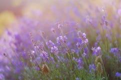 Coucher du soleil de flou de lavande de fond Beauté criméenne au coucher du soleil Images stock