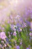 Coucher du soleil de flou de lavande de fond Beauté criméenne au coucher du soleil Photos libres de droits