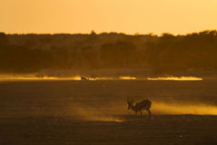 Coucher du soleil de Kalahari avec le springbok Photographie stock