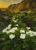 Coucher du soleil de Lily Valley de calla Image libre de droits