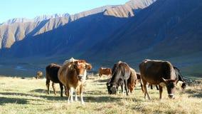 Coucher du soleil de montagne de vache banque de vidéos