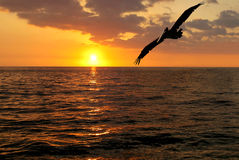 Coucher du soleil de pélican Photos libres de droits