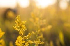 Coucher du soleil de paysage de soirée dans le pré, sur l'herbe et l'usine jaune Orientation molle Image libre de droits