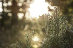 Coucher du soleil de pin Photo libre de droits