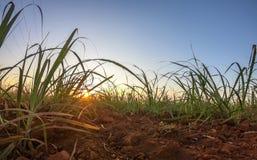 Coucher du soleil de plantation de canne à sucre Images libres de droits