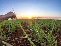 Coucher du soleil de plantation de canne à sucre Photographie stock libre de droits