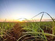 Coucher du soleil de plantation de canne à sucre Image stock