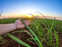Coucher du soleil de plantation de canne à sucre Images stock