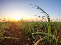 Coucher du soleil de plantation de canne à sucre Photo stock