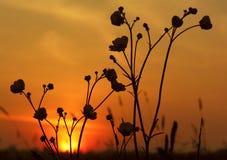 Coucher du soleil de renoncule images libres de droits