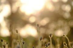 Coucher du soleil de silhouette avec la fleur brouillée de fleur sauvage dans un domaine images stock