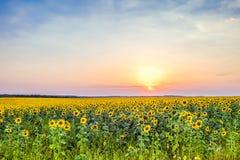 Coucher du soleil de soirée au-dessus d'un champ des tournesols de floraison Photos libres de droits