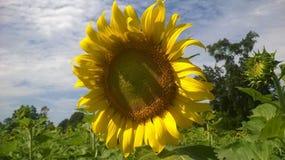 Coucher du soleil de tournesol Photographie stock libre de droits