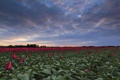 Coucher du soleil de tulipe Photos libres de droits