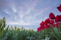 Coucher du soleil de tulipes Photos libres de droits