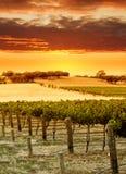 Coucher du soleil de vigne Photographie stock