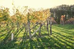 Coucher du soleil de vignoble Photo stock
