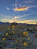 Coucher du soleil de Wildflower Image stock