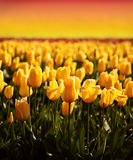 Coucher du soleil de zone de tulipe Image libre de droits