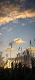 Coucher du soleil derrière la canne à sucre photographie stock libre de droits