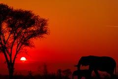 Coucher du soleil dramatique en parc national Afrique du Sud de Kruger Photos libres de droits