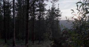 Coucher du soleil entre les pins avec un ciel clair banque de vidéos