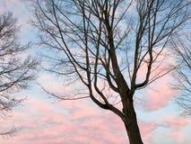 Coucher du soleil et arbres de sucrerie de coton Photographie stock