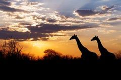 Coucher du soleil et girafes en silhouette en Afrique Image stock