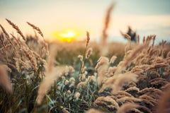 Coucher du soleil et zone lumineux d'herbe jaune Photos stock