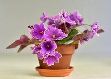 Coucher du soleil glacial de variété de plante de violette africaine Photos stock